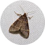 moth-ccs-london-pest